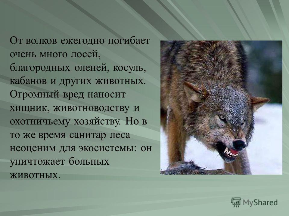 От волков ежегодно погибает очень много лосей, благородных оленей, косуль, кабанов и других животных. Огромный вред наносит хищник, животноводству и охотничьему хозяйству. Но в то же время санитар леса неоценим для экосистемы: он уничтожает больных ж