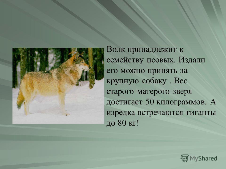 Волк принадлежит к семейству псовых. Издали его можно принять за крупную собаку. Вес старого матерого зверя достигает 50 килограммов. А изредка встречаются гиганты до 80 кг!