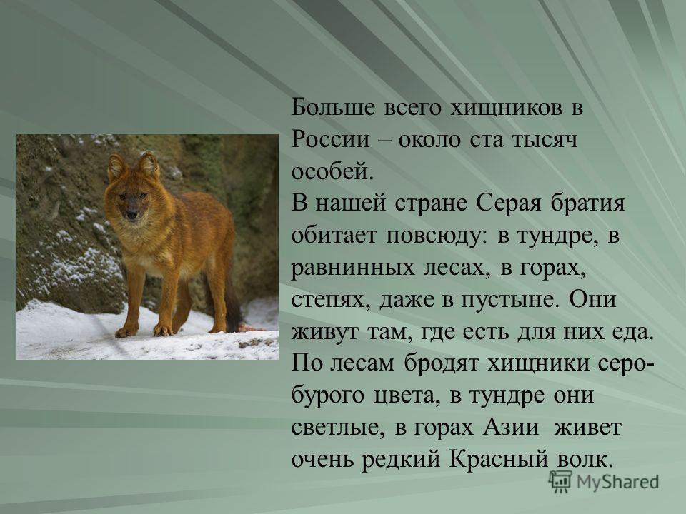 Больше всего хищников в России – около ста тысяч особей. В нашей стране Серая братия обитает повсюду: в тундре, в равнинных лесах, в горах, степях, даже в пустыне. Они живут там, где есть для них еда. По лесам бродят хищники серо- бурого цвета, в тун