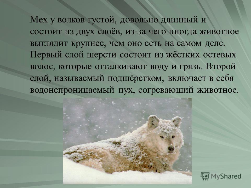 Мех у волков густой, довольно длинный и состоит из двух слоёв, из-за чего иногда животное выглядит крупнее, чем оно есть на самом деле. Первый слой шерсти состоит из жёстких остевых волос, которые отталкивают воду и грязь. Второй слой, называемый под