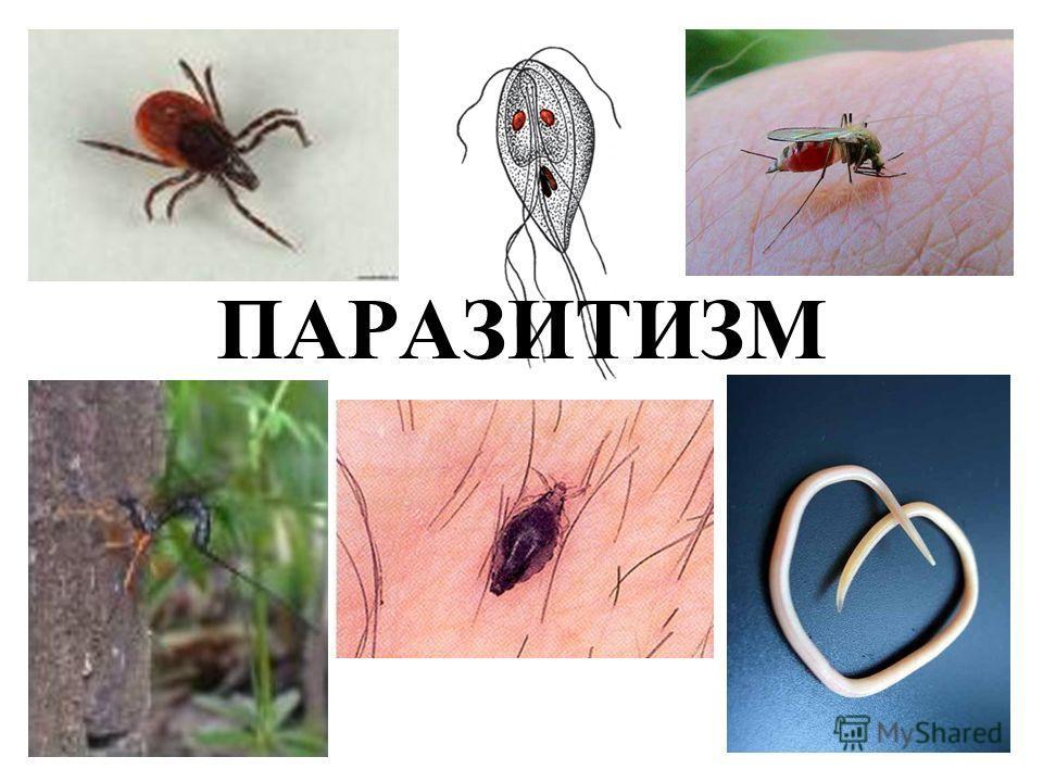постоянным паразитом человека является