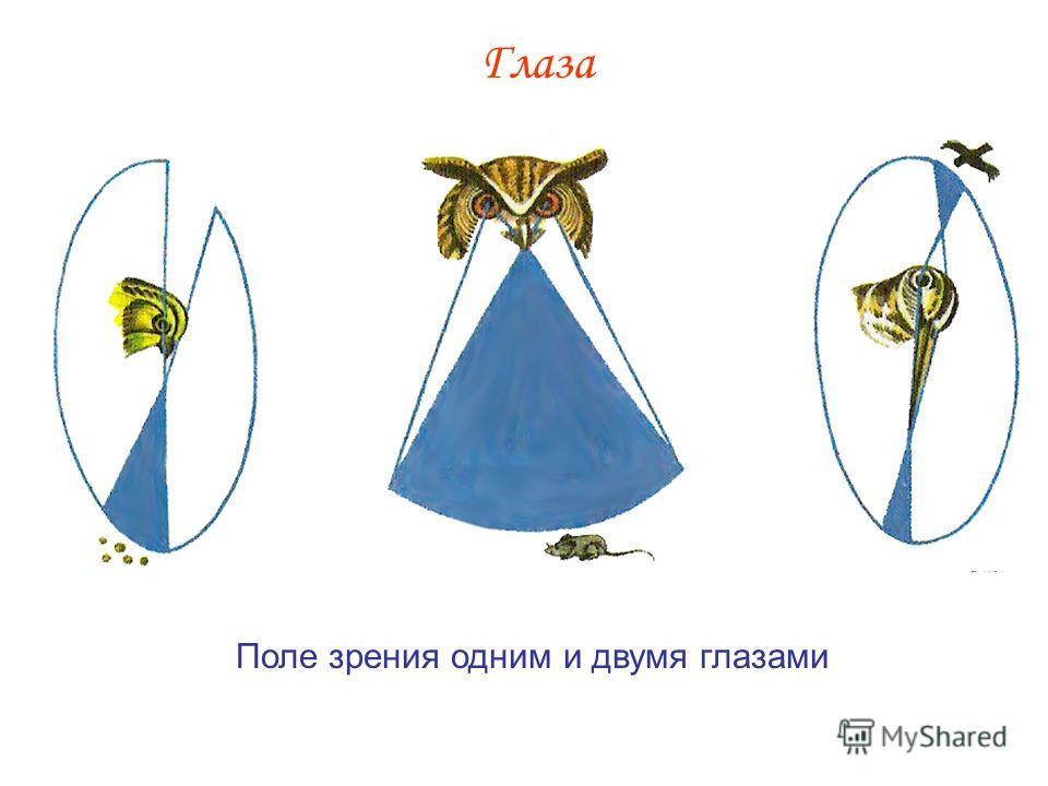 Глазами слайд 6 строение крыла птицы