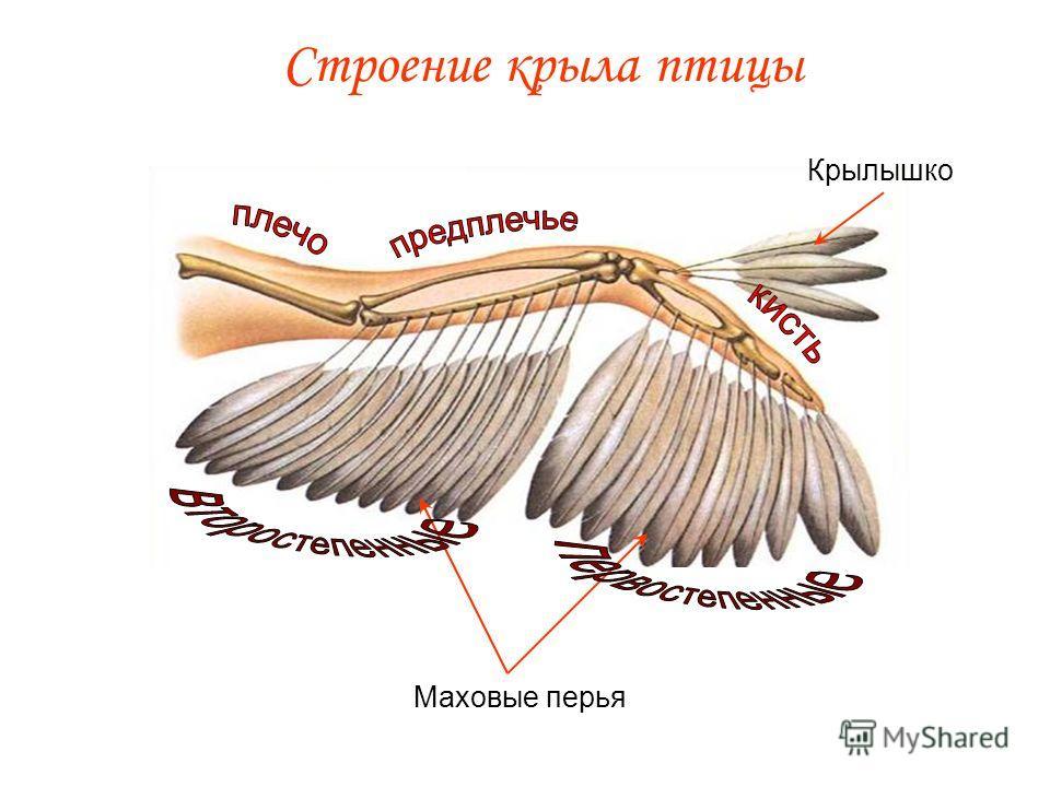 Строение крыла птицы Маховые перья Крылышко