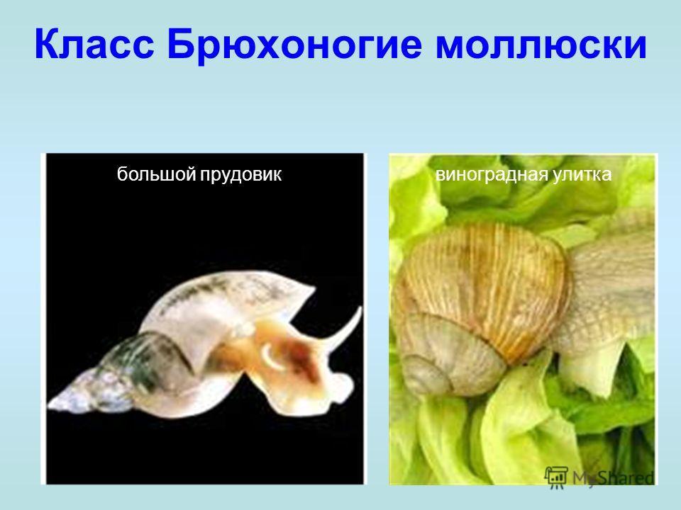 Класс Брюхоногие моллюски большой прудовиквиноградная улитка