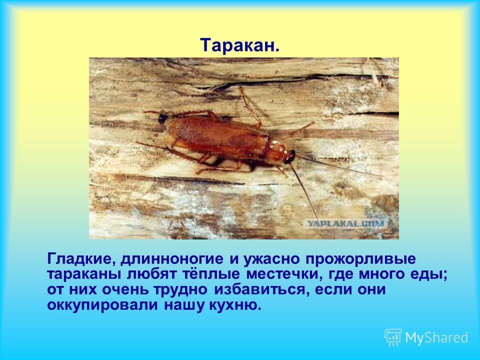 Таракан. Гладкие, длинноногие и ужасно прожорливые тараканы любят тёплые местечки, где много еды; от них очень трудно избавиться, если они оккупировали нашу кухню.
