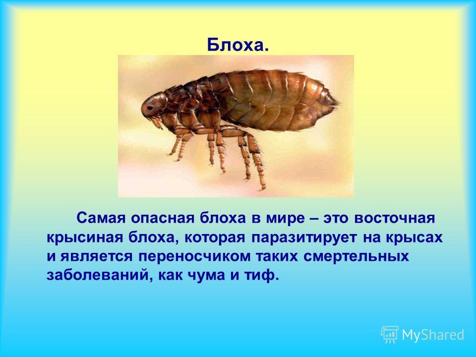 Блоха. Самая опасная блоха в мире – это восточная крысиная блоха, которая паразитирует на крысах и является переносчиком таких смертельных заболеваний, как чума и тиф.