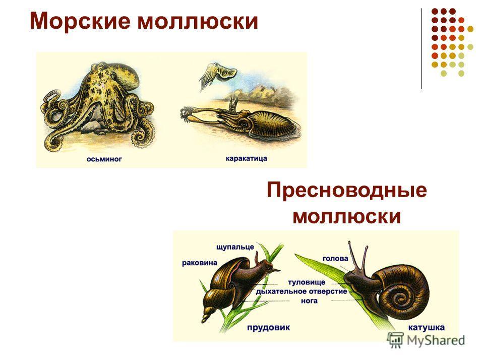 Морские моллюски Пресноводные моллюски