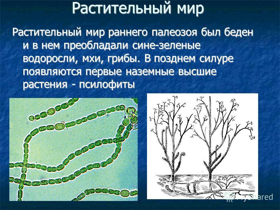 Растительный мир Растительный мир раннего палеозоя был беден и в нем преобладали сине-зеленые водоросли, мхи, грибы. В позднем силуре появляются первые наземные высшие растения - псилофиты