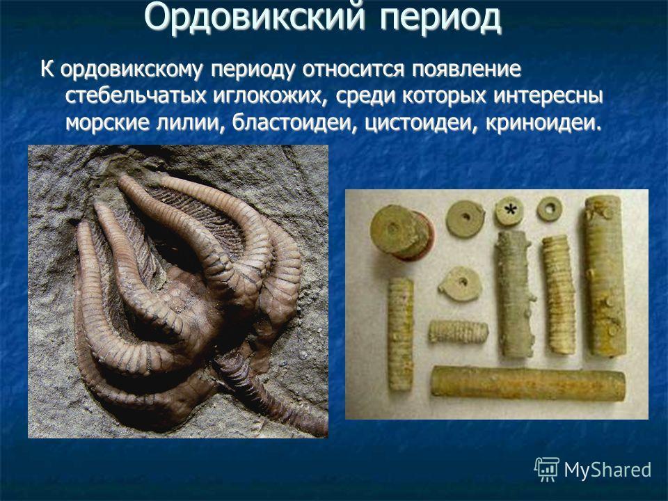 Ордовикский период К ордовикскому периоду относится появление стебельчатых иглокожих, среди которых интересны морские лилии, бластоидеи, цистоидеи, криноидеи.