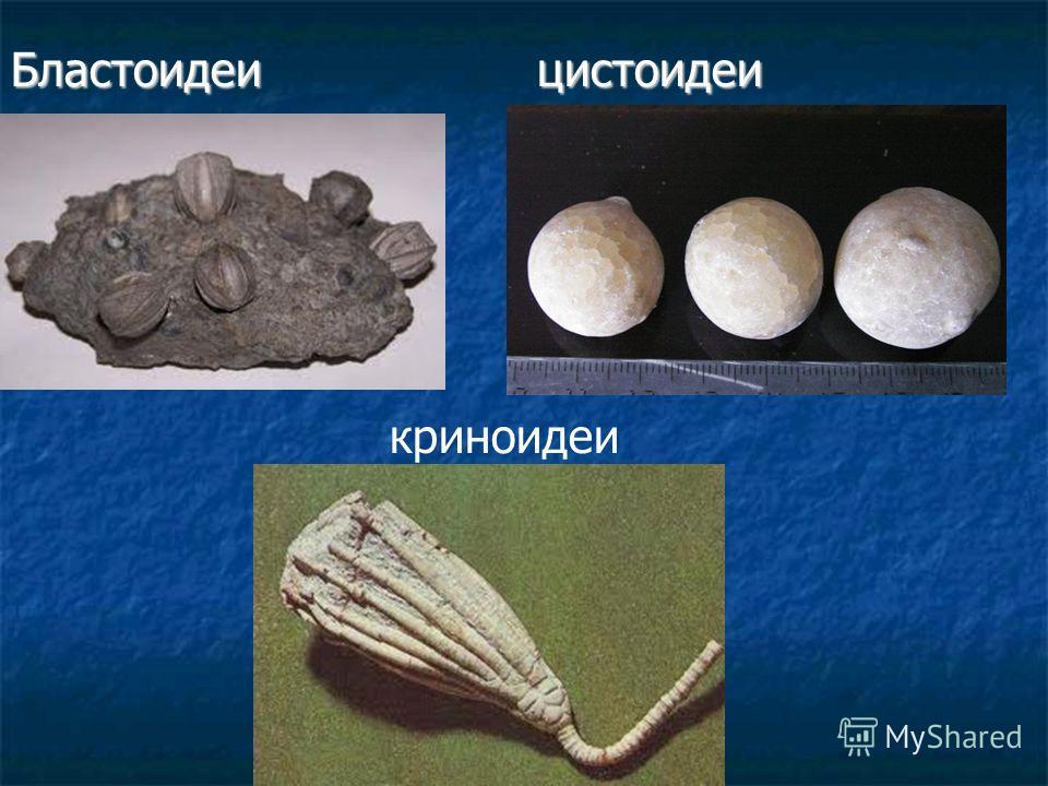 Бластоидеи цистоидеи криноидеи
