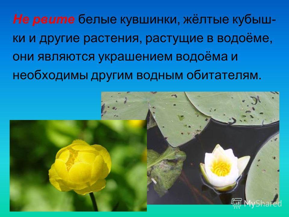 Не рвите белые кувшинки, жёлтые кубыш- ки и другие растения, растущие в водоёме, они являются украшением водоёма и необходимы другим водным обитателям.