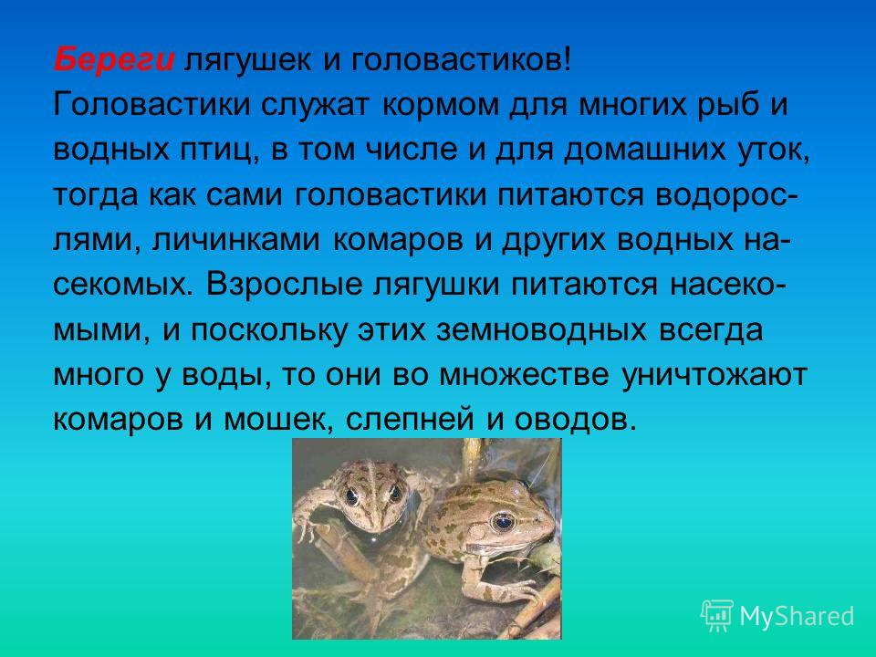 Береги лягушек и головастиков! Головастики служат кормом для многих рыб и водных птиц, в том числе и для домашних уток, тогда как сами головастики питаются водорос- лями, личинками комаров и других водных на- секомых. Взрослые лягушки питаются насеко