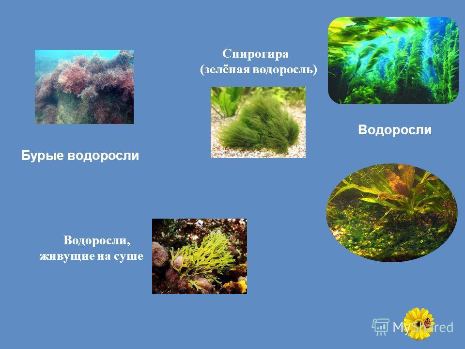 Бурые водоросли Спирогира (зелёная водоросль) Водоросли, живущие на суше Водоросли