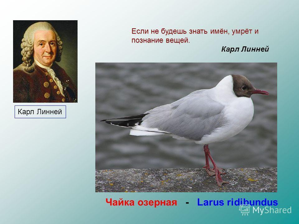 Язык систематики - латинский Видовое название – бинарное ( состоящее из двух слов) Карл Линней Чайка озерная - Larus ridibundus Если не будешь знать имён, умрёт и познание вещей. Карл Линней