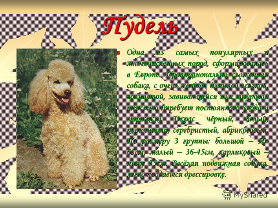 Пудель Одна из самых популярных и многочисленных пород, сформировалась в Европе. Пропорционально сложенная собака, с очень густой, длинной мягкой, волнистой, завивающейся или шнуровой шерстью (требует постоянного ухода и стрижки). Окрас чёрный, белый