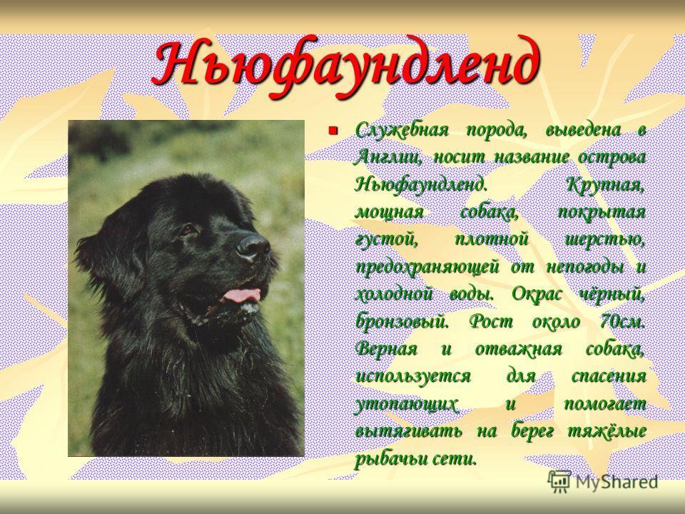 Ньюфаундленд Служебная порода, выведена в Англии, носит название острова Ньюфаундленд. Крупная, мощная собака, покрытая густой, плотной шерстью, предохраняющей от непогоды и холодной воды. Окрас чёрный, бронзовый. Рост около 70см. Верная и отважная с
