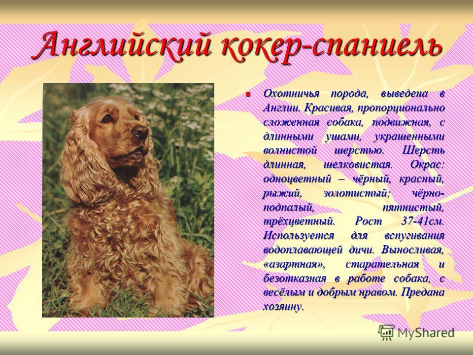 Английский кокер-спаниель Охотничья Охотничья порода, выведена в Англии. Красивая, пропорционально сложенная собака, подвижная, с длинными ушами, украшенными волнистой шерстью. Шерсть длинная, шелковистая. Окрас: одноцветный – чёрный, красный, рыжий,