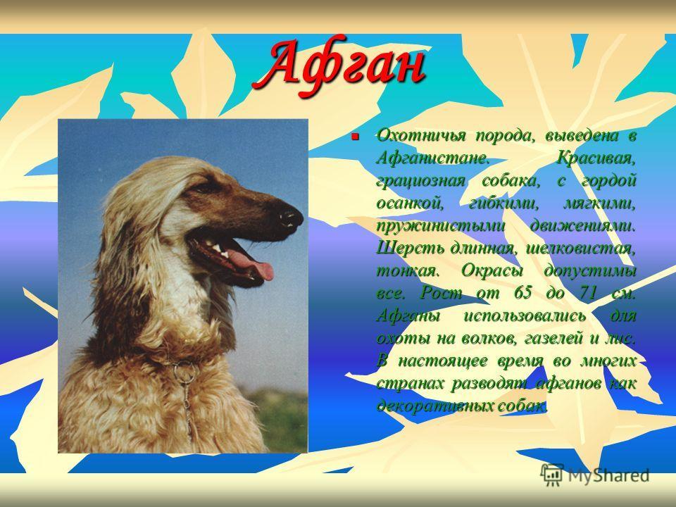 Афган Охотничья порода, выведена в Афганистане. Красивая, грациозная собака, с гордой осанкой, гибкими, мягкими, пружинистыми движениями. Шерсть длинная, шелковистая, тонкая. Окрасы допустимы все. Рост от 65 до 71 см. Афганы использовались для охоты
