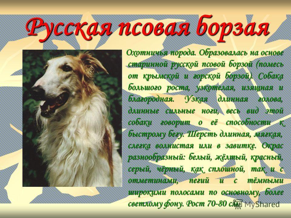 Русская псовая борзая Охотничья порода. Образовалась на основе старинной русской псовой борзой (помесь от крымской и горской борзой). Собака большого роста, узкотелая, изящная и благородная. Узкая длинная голова, длинные сильные ноги, весь вид этой с