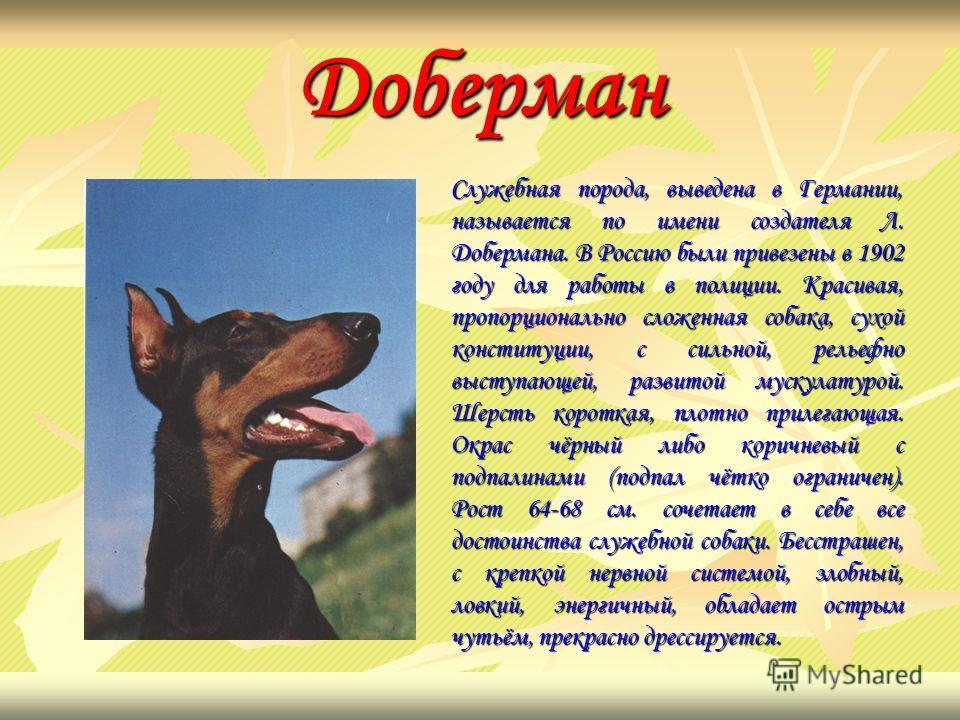 Доберман Служебная порода, выведена в Германии, называется по имени создателя Л. Добермана. В Россию были привезены в 1902 году для работы в полиции. Красивая, пропорционально сложенная собака, сухой конституции, с сильной, рельефно выступающей, разв