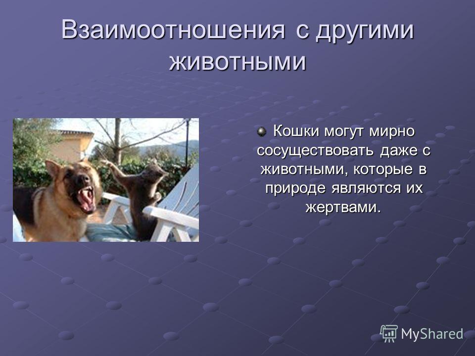 Взаимоотношения с другими животными Кошки могут мирно сосуществовать даже с животными, которые в природе являются их жертвами.