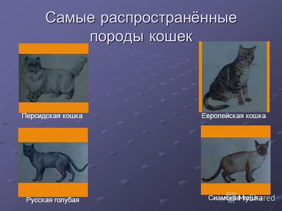 Самые распространённые породы кошек Персидская кошка Европейская кошка Русская голубая Сиамская кошка