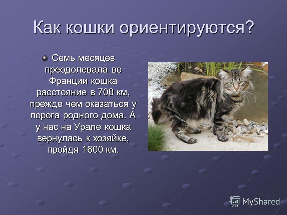 Как кошки ориентируются? Семь месяцев преодолевала во Франции кошка расстояние в 700 км, прежде чем оказаться у порога родного дома. А у нас на Урале кошка вернулась к хозяйке, пройдя 1600 км.