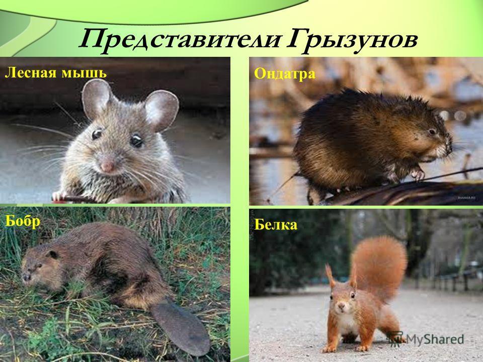 Представители Грызунов Ондатра Лесная мышь Бобр Белка