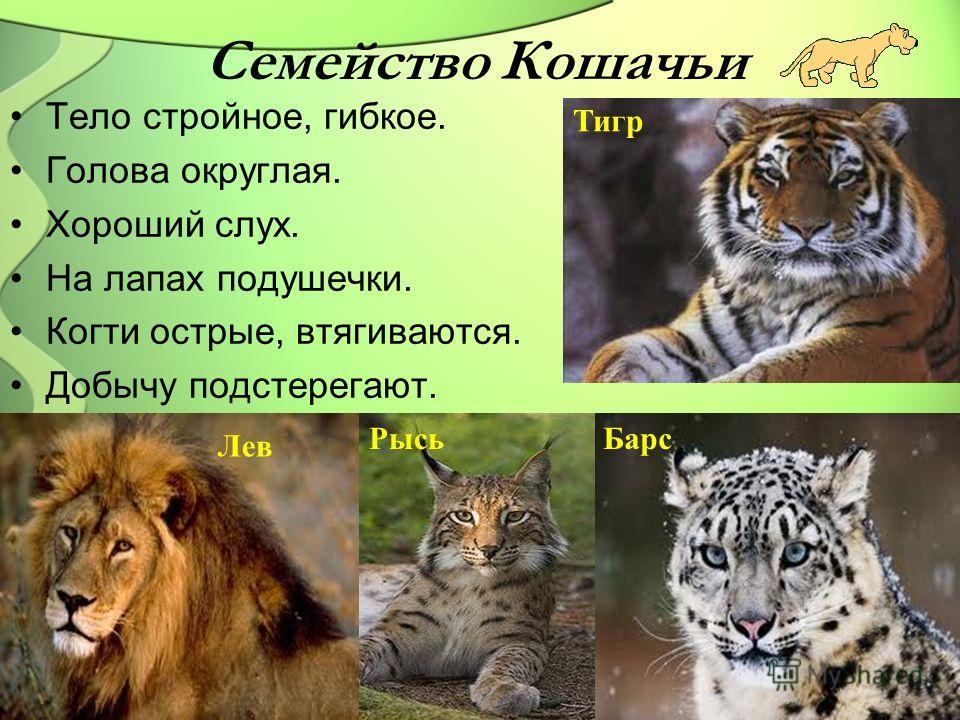 Семейство Кошачьи Тело стройное, гибкое. Голова округлая. Хороший слух. На лапах подушечки. Когти острые, втягиваются. Добычу подстерегают. Тигр Лев РысьБарс