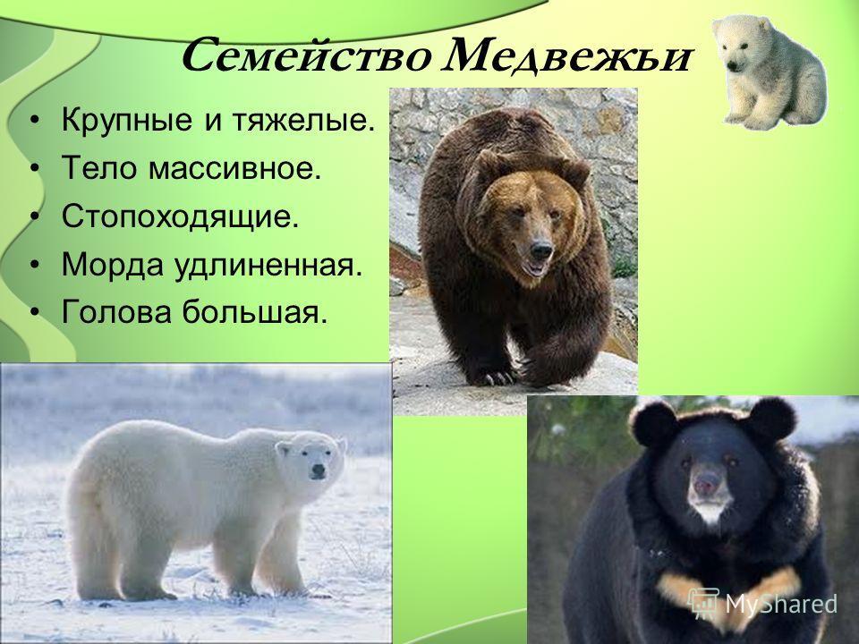 Семейство Медвежьи Крупные и тяжелые. Тело массивное. Стопоходящие. Морда удлиненная. Голова большая.