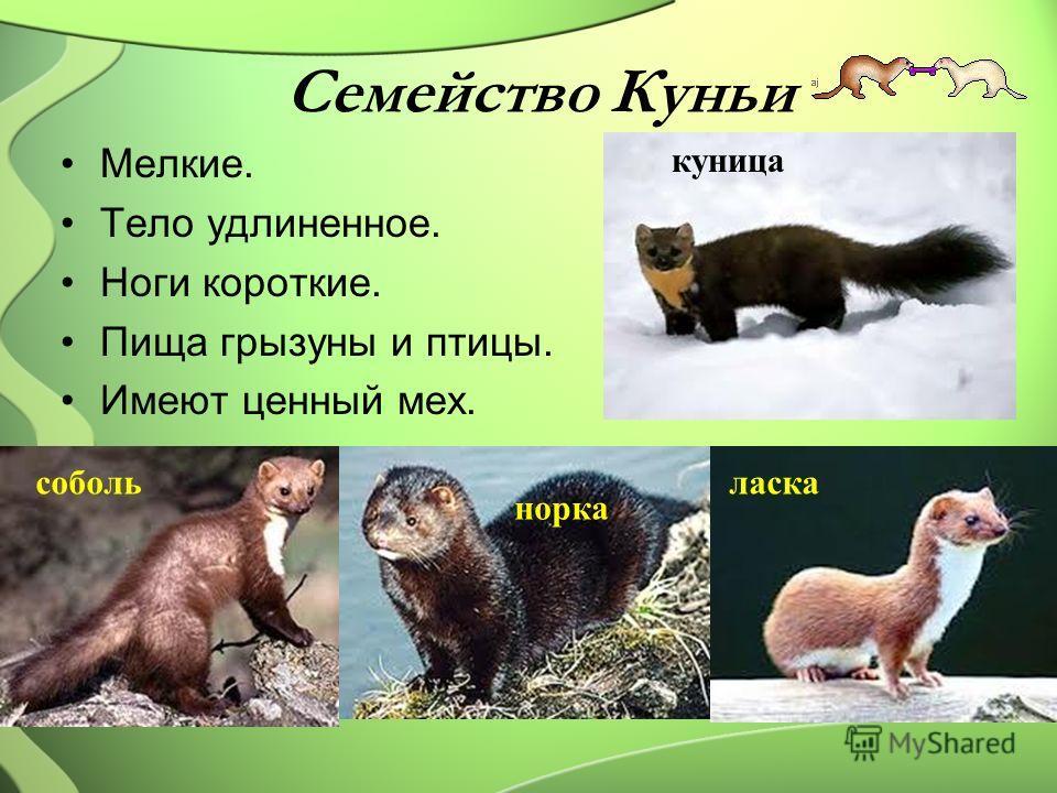 Семейство Куньи Мелкие. Тело удлиненное. Ноги короткие. Пища грызуны и птицы. Имеют ценный мех. куница норка собольласка