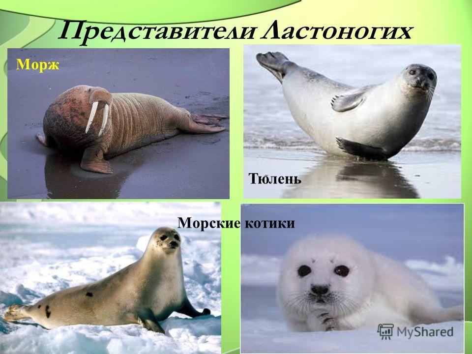 Представители Ластоногих Морж Тюлень Морские котики