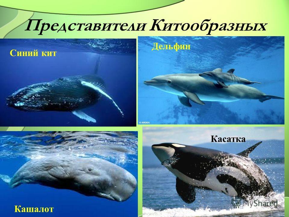 Представители Китообразных Синий кит Дельфин Кашалот Касатка