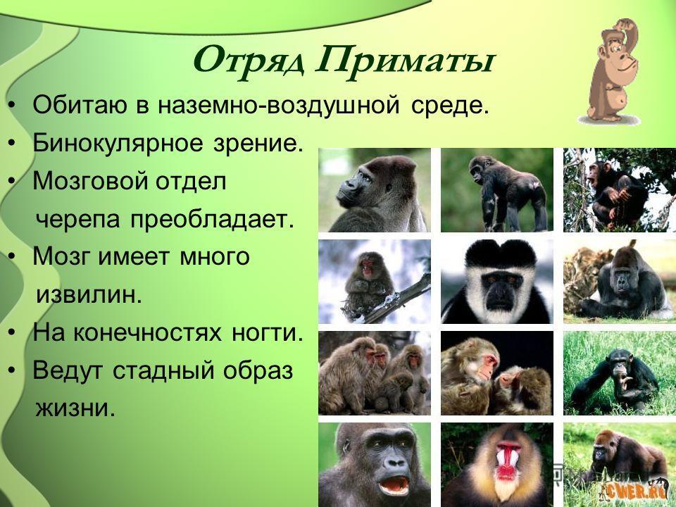 Отряд Приматы Обитаю в наземно-воздушной среде. Бинокулярное зрение. Мозговой отдел черепа преобладает. Мозг имеет много извилин. На конечностях ногти. Ведут стадный образ жизни.