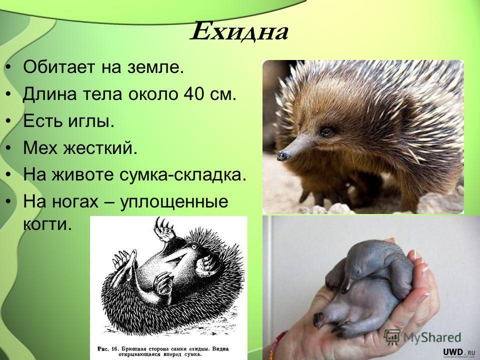 Ехидна Обитает на земле. Длина тела около 40 см. Есть иглы. Мех жесткий. На животе сумка-складка. На ногах – уплощенные когти.