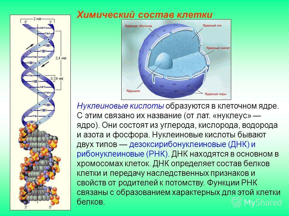Нуклеиновые кислоты образуются в клеточном ядре. С этим связано их название (от лат. «нуклеус» ядро). Они состоят из углерода, кислорода, водорода и азота и фосфора. Нуклеиновые кислоты бывают двух типов дезоксирибонуклеиновые (ДНК) и рибонуклеиновые