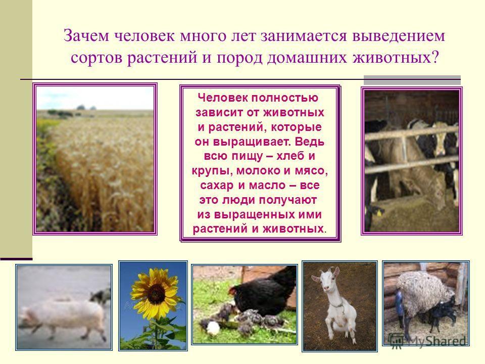 Зачем человек много лет занимается выведением сортов растений и пород домашних животных? Человек полностью зависит от животных и растений, которые он выращивает. Ведь всю пищу – хлеб и крупы, молоко и мясо, сахар и масло – все это люди получают из вы