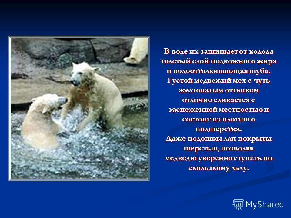 В воде их защищает от холода толстый слой подкожного жира и водоотталкивающая шуба. Густой медвежий мех с чуть желтоватым оттенком отлично сливается с заснеженной местностью и состоит из плотного подшерстка. Даже подошвы лап покрыты шерстью, позволяя