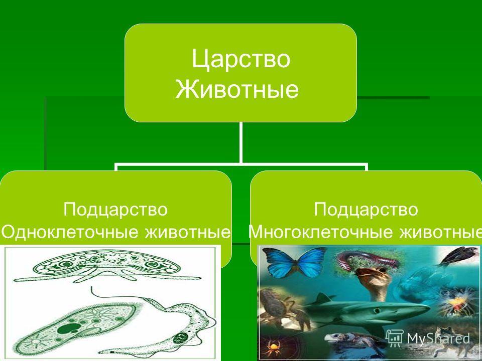 Царство Животные Подцарство Одноклеточные животные Подцарство Многоклеточные животные