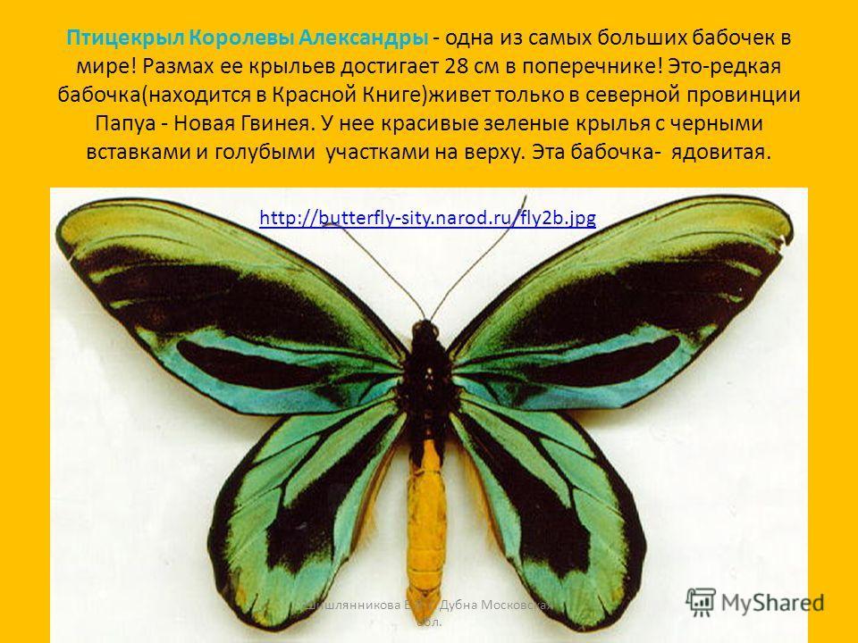 Птицекрыл Королевы Александры - одна из самых больших бабочек в мире! Размах ее крыльев достигает 28 см в поперечнике! Это-редкая бабочка(находится в Красной Книге)живет только в северной провинции Папуа - Новая Гвинея. У нее красивые зеленые крылья