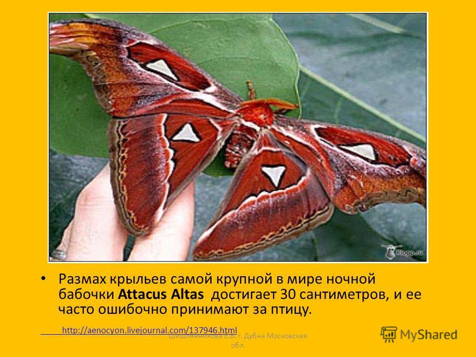 Размах крыльев самой крупной в мире ночной бабочки Attacus Altas достигает 30 сантиметров, и ее часто ошибочно принимают за птицу. http://aenocyon.livejournal.com/137946.html Шишлянникова Е.В. г. Дубна Московская обл.