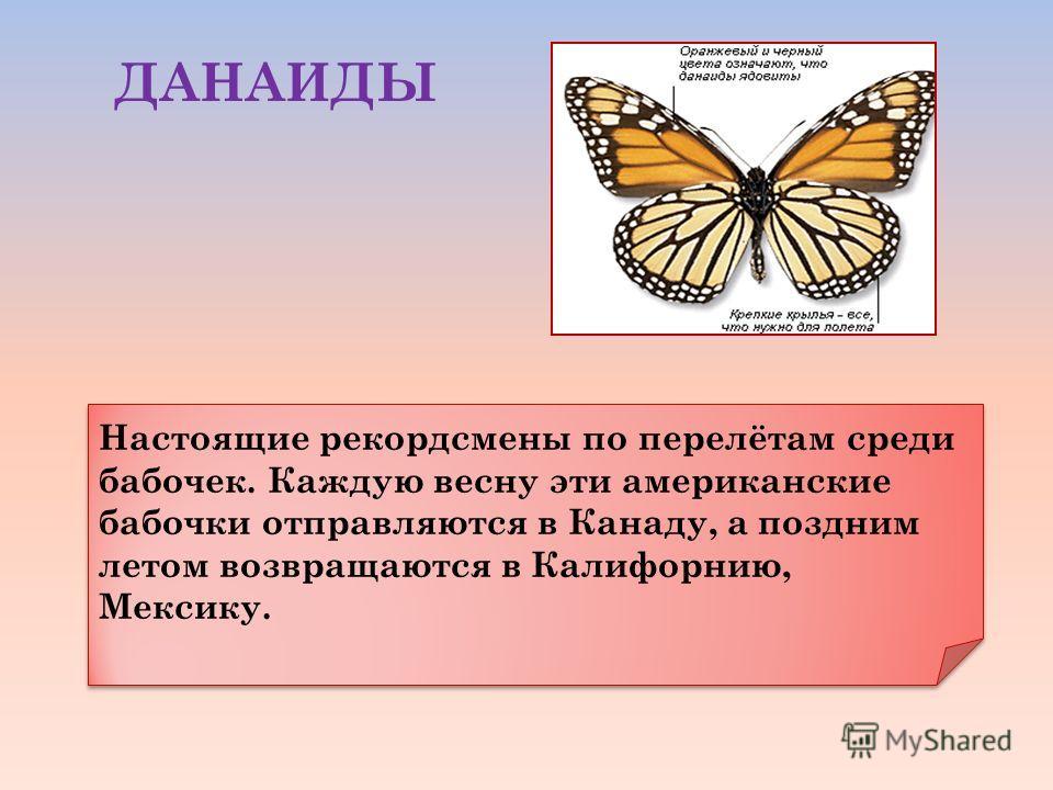 Настоящие рекордсмены по перелётам среди бабочек. Каждую весну эти американские бабочки отправляются в Канаду, а поздним летом возвращаются в Калифорнию, Мексику. ДАНАИДЫ