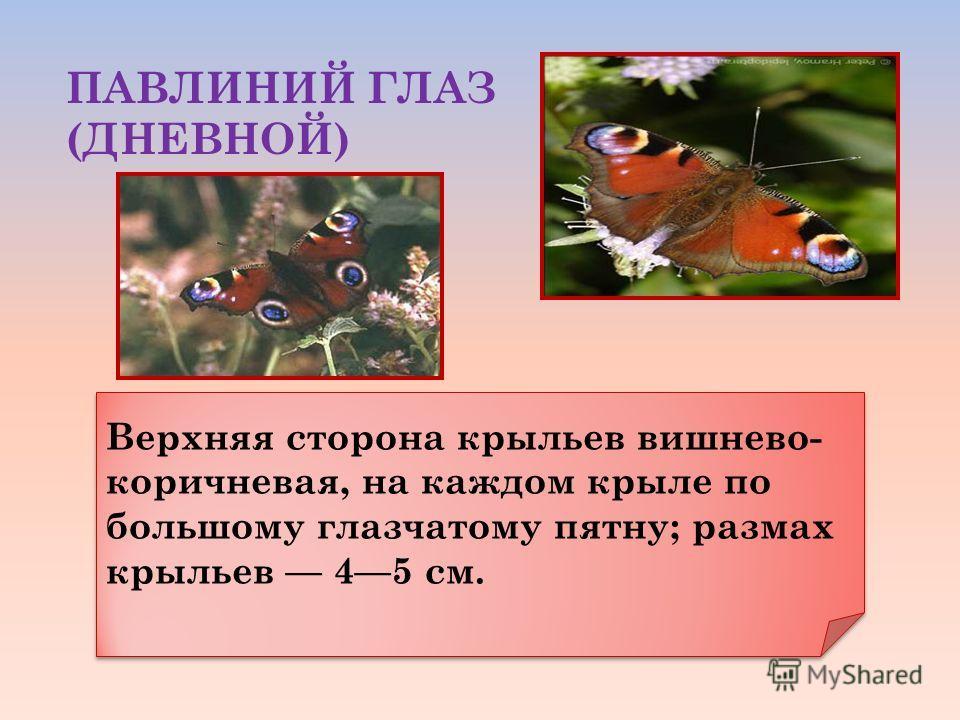 ПАВЛИНИЙ ГЛАЗ (ДНЕВНОЙ) Верхняя сторона крыльев вишнево- коричневая, на каждом крыле по большому глазчатому пятну; размах крыльев 45 см.