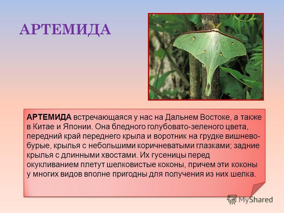 АРТЕМИДА АРТЕМИДА встречающаяся у нас на Дальнем Востоке, а также в Китае и Японии. Она бледного голубовато-зеленого цвета, передний край переднего крыла и воротник на грудке вишнево- бурые, крылья с небольшими коричневатыми глазками; задние крылья с