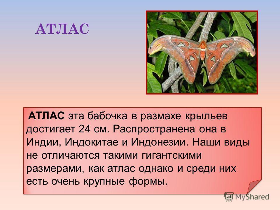 АТЛАС АТЛАС эта бабочка в размахе крыльев достигает 24 см. Распространена она в Индии, Индокитае и Индонезии. Наши виды не отличаются такими гигантскими размерами, как атлас однако и среди них есть очень крупные формы.