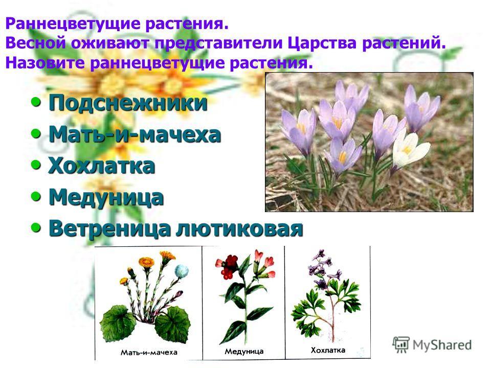 Раннецветущие растения. Весной оживают представители Царства растений. Назовите раннецветущие растения. Подснежники Подснежники Мать-и-мачеха Мать-и-мачеха Хохлатка Хохлатка Медуница Медуница Ветреница лютиковая Ветреница лютиковая