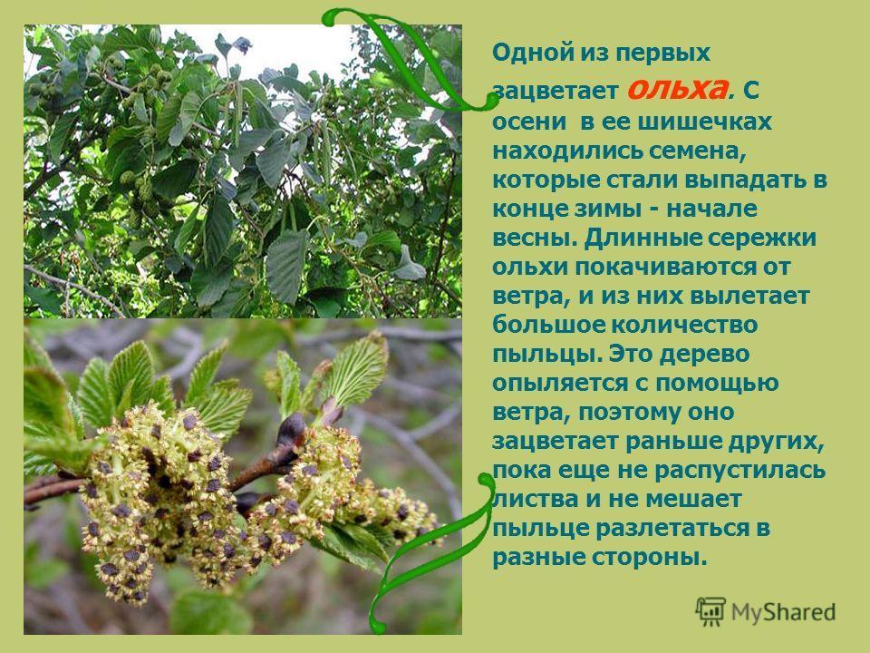 Одной из первых зацветает ольха. С осени в ее шишечках находились семена, которые стали выпадать в конце зимы - начале весны. Длинные сережки ольхи покачиваются от ветра, и из них вылетает большое количество пыльцы. Это дерево опыляется с помощью вет