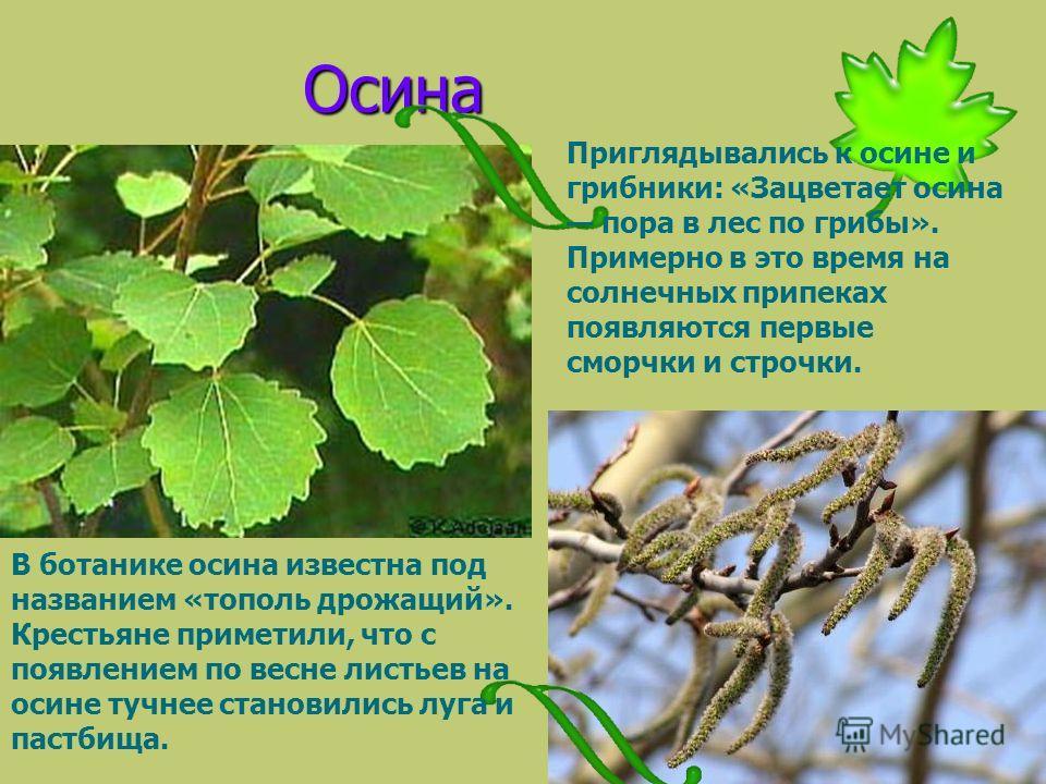 Осина В ботанике осина известна под названием «тополь дрожащий». Крестьяне приметили, что с появлением по весне листьев на осине тучнее становились луга и пастбища. Приглядывались к осине и грибники: «Зацветает осина пора в лес по грибы». Примерно в