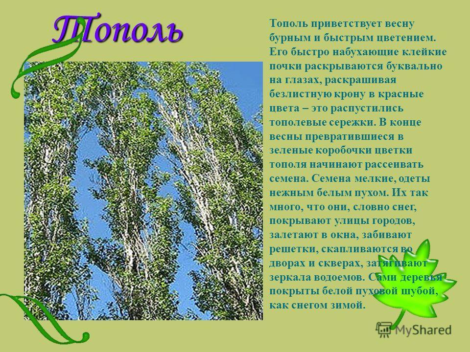 Тополь Тополь приветствует весну бурным и быстрым цветением. Его быстро набухающие клейкие почки раскрываются буквально на глазах, раскрашивая безлистную крону в красные цвета – это распустились тополевые сережки. В конце весны превратившиеся в зелен