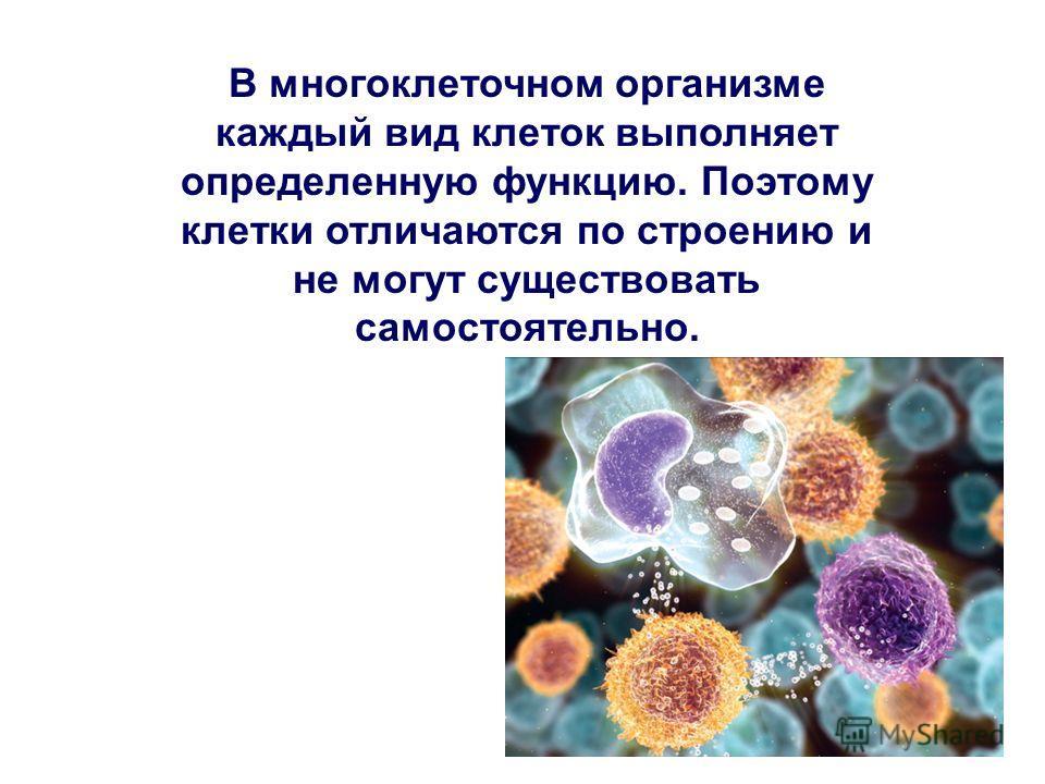 В многоклеточном организме каждый вид клеток выполняет определенную функцию. Поэтому клетки отличаются по строению и не могут существовать самостоятельно.